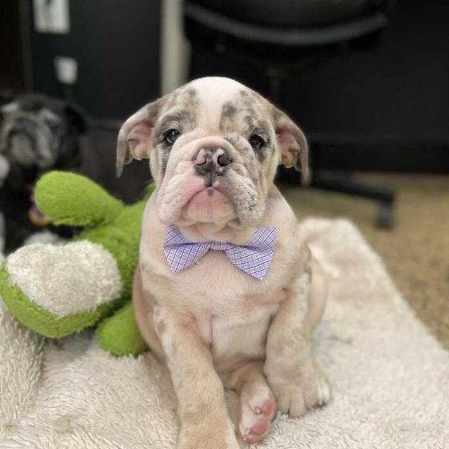 Meet Oliver, who came in dressed and ready to impress for his first day of daycare 😍 we truly do have the best pups in Miami come to us at Dogtown. How lucky are we?!